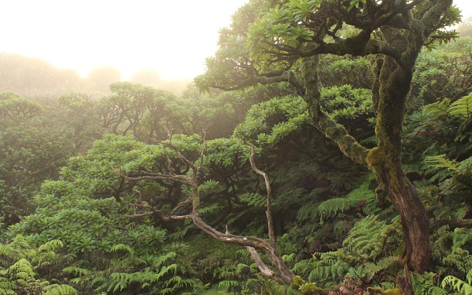 Cloud Forest, St Helena - News Scans