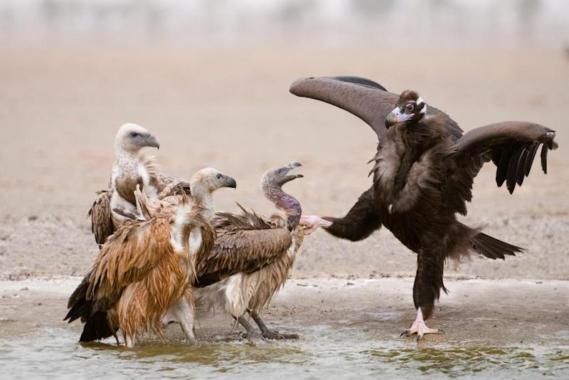 Various species of vulture