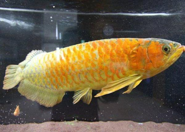 The Asian Arowana, which was raised in these 'magical hot spring waters'. It seems to be happy swimming in this water containing hot spring elements
