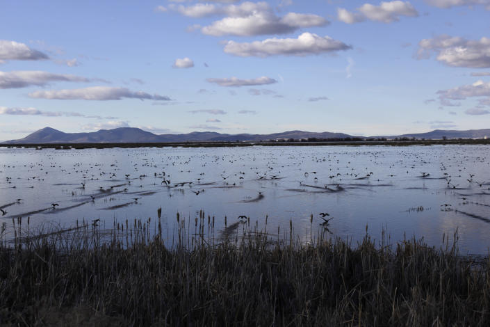 FILE - In this March 2, 2020, file photo, birds take off from a marsh in the Tulelake National Wildlife Refuge in the Klamath Basin along the Oregon-California border. One of the worst droughts in memory in the massive agricultural region straddling the California-Oregon border could mean steep cuts to irrigation water for hundreds of farmers this summer to sustain endangered fish species critical to local tribes. The U.S. Bureau of Reclamation, which oversees water allocations in the federally owned Klamath Project, is expected to announce this week how the season's water will be divvied up after delaying the decision a month. (AP Photo/Gillian Flaccus, File)