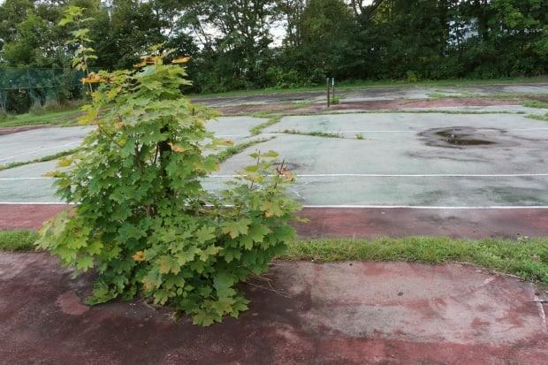 A maple tree and grass is shown growing up out of a tennis court at Brown Street park in Sydney Mines, N.S.  (Erin Pottie/CBC - image credit)