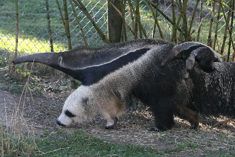 A newborn giant anteater rides on the back of his mom at the San Francisco Zoo on January 20, 2011 in San Francisco, California (AFP Photo/Justin Sullivan)