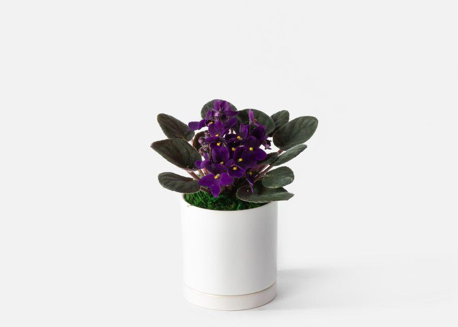 """<p><strong>Urban Stems</strong></p><p>urbanstems.com</p><p><strong>$40.00</strong></p><p><a href=""""https://go.redirectingat.com?id=74968X1596630&url=https%3A%2F%2Furbanstems.com%2Fproducts%2Fplants%2Fthe-viola%2FNF-K-00290.html%3Fgclid%3DCj0KCQjw6-SDBhCMARIsAGbI7Uh3fBLF6WyfjGz-H9NUjq7EBid-p0eTskQq25zXHKGX1dZCrVA4bmkaAkB5EALw_wcB&sref=https%3A%2F%2Fwww.cosmopolitan.com%2Flifestyle%2Fg36150492%2Fplants-safe-for-cats%2F"""" rel=""""nofollow noopener"""" target=""""_blank"""" data-ylk=""""slk:SHOP NOW"""" class=""""link rapid-noclick-resp"""">SHOP NOW</a></p><p>With their fuzzy green leaves, violet-like flowers, and compact size, you want to plop some of these cat-safe plants on every surface. Look how stunning!</p>"""