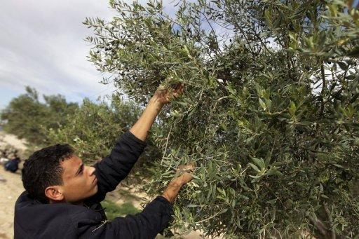 Instead of black gold, Libya eyes olive oil