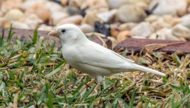 An albino sparrow, one of the rarest birds in the world, seen in the outer Melbourne suburb of Point Cook (AFP Photo/Bob Winters)