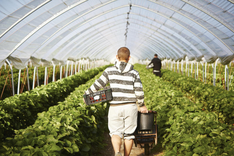 Male farm worker walks harvested strawberries down poly tunnel.