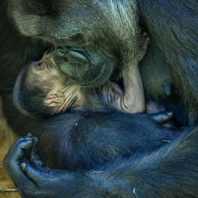 Nine-year-old Kala, a western lowland gorilla, with her 24-hour-old baby, in the Gorilla House at Bristol Zoo Gardens