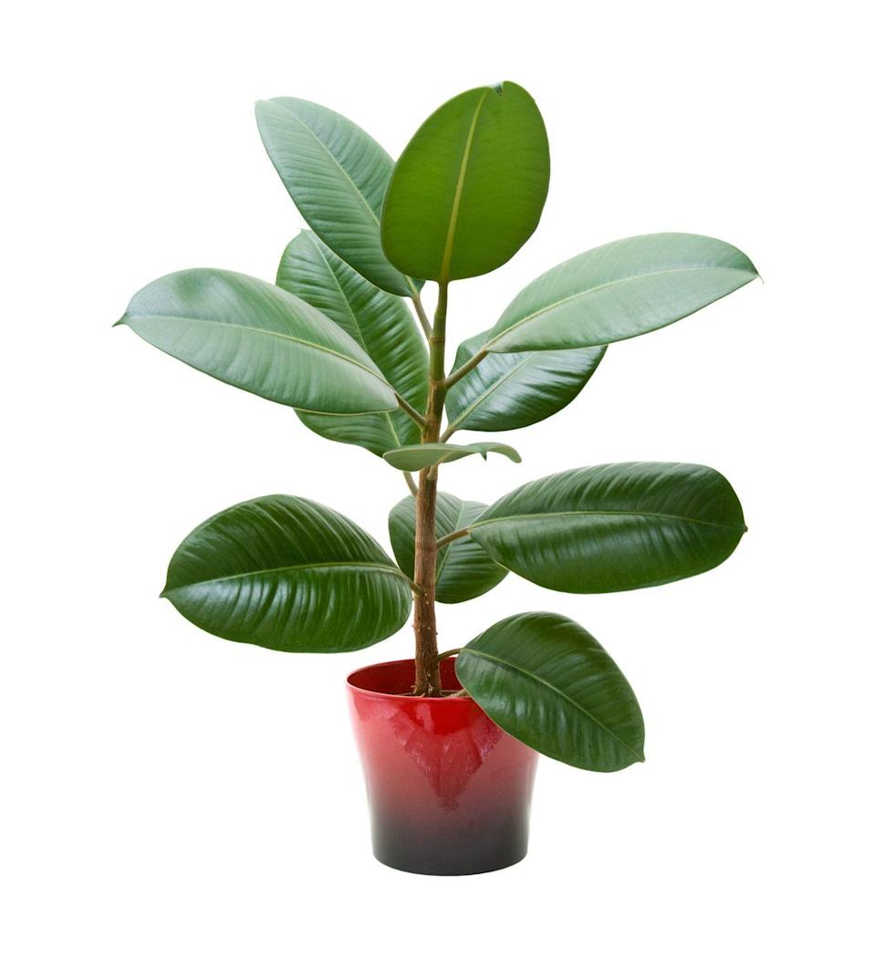 """<p>Perhaps best know from the """"High Hopes"""" song—that little old ant really <em>did</em> move a rubber tree plant—this tall, sturdy specimen with thick, shiny leaves is especially talented at removing formaldehyde from the air. Keep away from pets.</p><p><a class=""""link rapid-noclick-resp"""" href=""""https://www.amazon.com/United-Nursery-Elastica-Burgandy-Rubber/dp/B07RQWFL74/?tag=syn-yahoo-20&ascsubtag=%5Bartid%7C2141.g.28325586%5Bsrc%7Cyahoo-us"""" rel=""""nofollow noopener"""" target=""""_blank"""" data-ylk=""""slk:SHOP RUBBER PLANTS"""">SHOP RUBBER PLANTS</a></p>"""