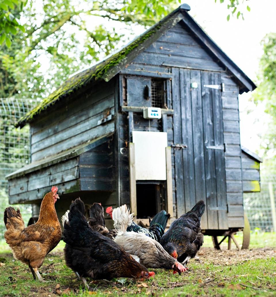 Backyard chickens pictured in front of a coop with a ChickenGuard installed