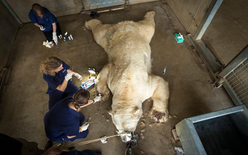 Victor, a 620 kg polar bear, is given an allergy test at the Yorkshire Wildlife Park near Doncaster after he and a smaller bear, Nobby, began suffering from abscesses on their feet.  - PA