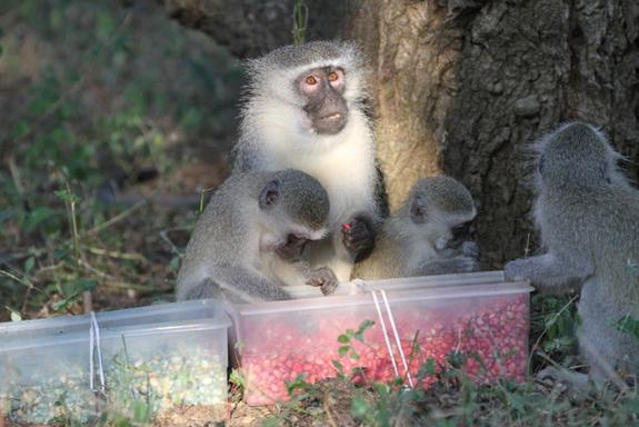Everybody's Doing It: Monkeys Eat What Others are Eating