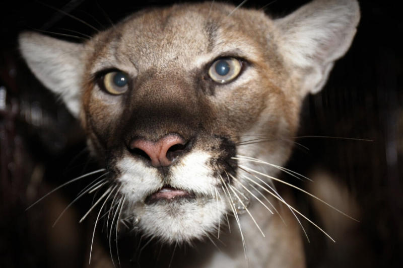 Woman 'Punches' and 'Elbows' Mountain Lion after It Attacked Her Dog in Backyard