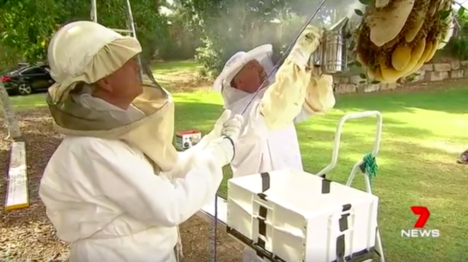 Mr Tully will find a new home for the bees while giving some of the honey to the newlyweds-to-be. Source: 7News