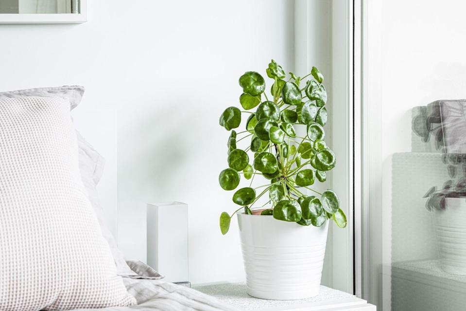 pilea peperomiodes house plant window sill