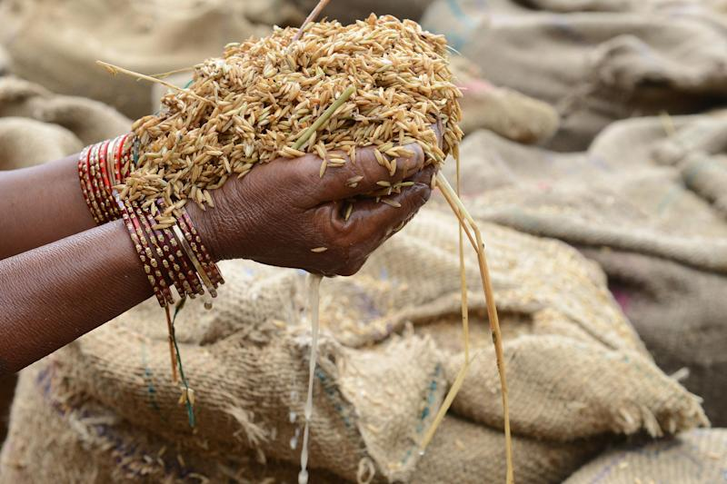 An Indian farmer holds up wet grains of unpolished rice at the Agriculture Market Yard at Jangaon Mandal, Warangal district, on May 9, 2014