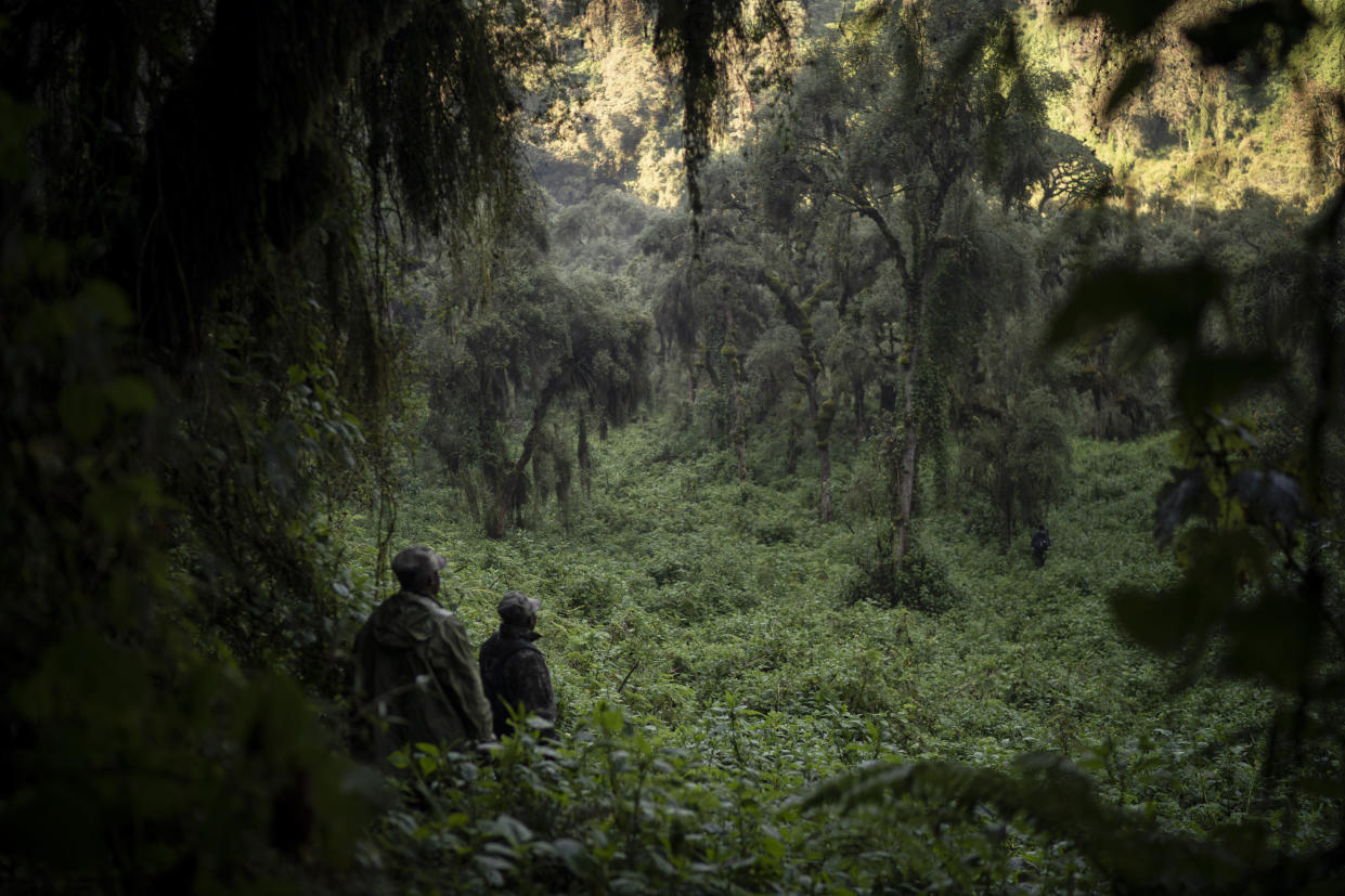 Gorilla trackers search for members of the Agasha group in Volcanoes National Park, Rwanda. (Photo: Felipe Dana/AP)