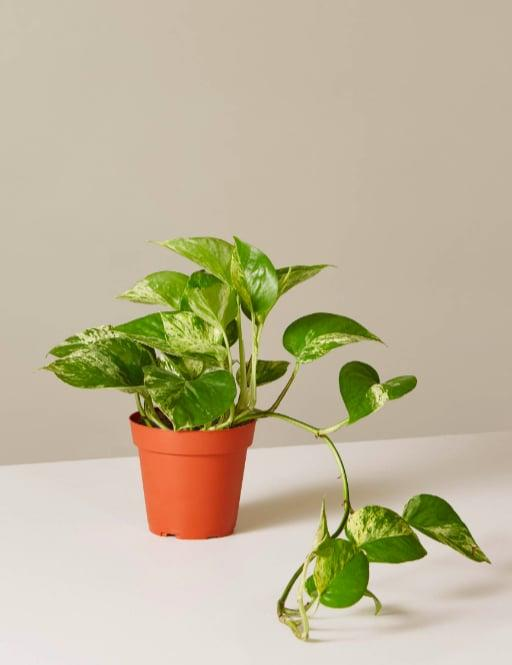 """<p>Buy it here: <a href=""""https://www.popsugar.com/buy/Pothos-Marble-364393?p_name=Pothos%20Marble&retailer=thesill.com&pid=364393&price=7&evar1=casa%3Aus&evar9=45658995&evar98=https%3A%2F%2Fwww.popsugar.com%2Fhome%2Fphoto-gallery%2F45658995%2Fimage%2F45658996%2FPothos-Marble&list1=shopping%2Chouse%20plants%2Cplants&prop13=mobile&pdata=1"""" rel=""""nofollow"""" data-shoppable-link=""""1"""" target=""""_blank"""" class=""""ga-track"""" data-ga-category=""""Related"""" data-ga-label=""""http://www.thesill.com/products/pothos-marble"""" data-ga-action=""""In-Line Links"""">Pothos Marble</a> ($7)</p>"""