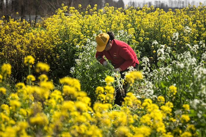 A local resident manages crops in fields at a suburban district on March 14, 2020 in Wuhan, China.