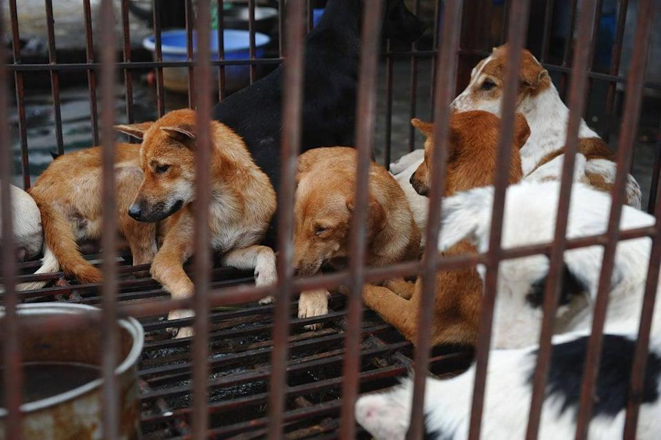 Stock image: Dogs waiting to be slaughtered for meat at a dog slaughterhouse in Hanoi, Vietnam  (AFP/Getty Images)
