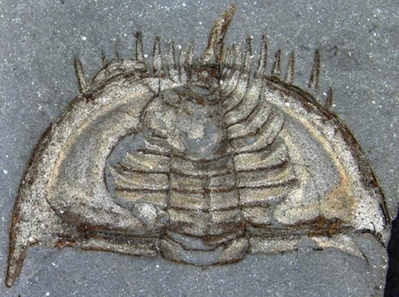 How Cute! Trilobites Curled Up in Self-Defense