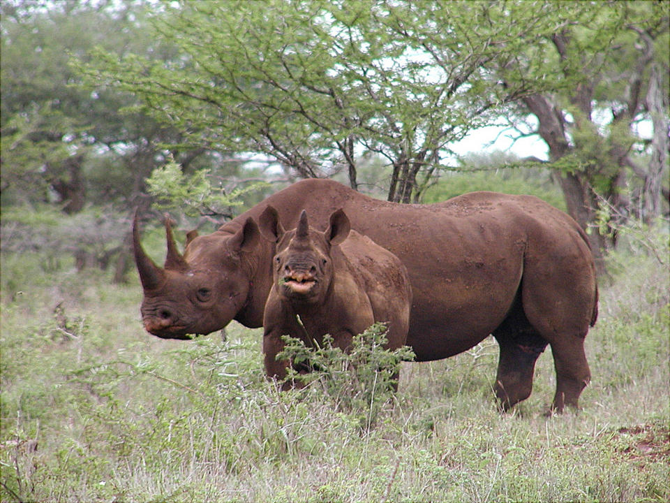 <p> In this Jan. 5, 2003 photo released by U.S. Fish and Wildlife Service, black rhino male and calf are seen in Mkuze, South Africa. A Wisconsin hunter has been granted a license to import a trophy from a black rhino he shot in Namibia in 2009. The U.S. Fish and Wildlife Service granted the import permit after reviewing Namibia's conservation program and deciding that well-managed sport hunting could play a beneficial role. Others said it set a dangerous precedent. (AP Photo/U.S. Fish and Wildlife Service, Karl Stromayer)</p>