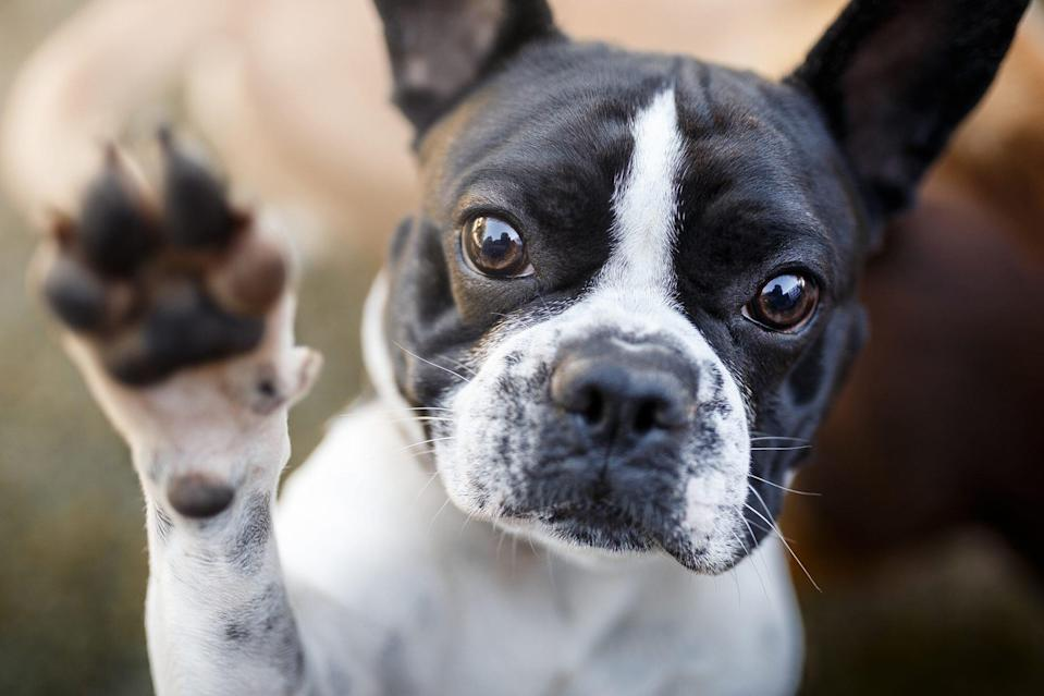 French Bulldog puppy with paw up