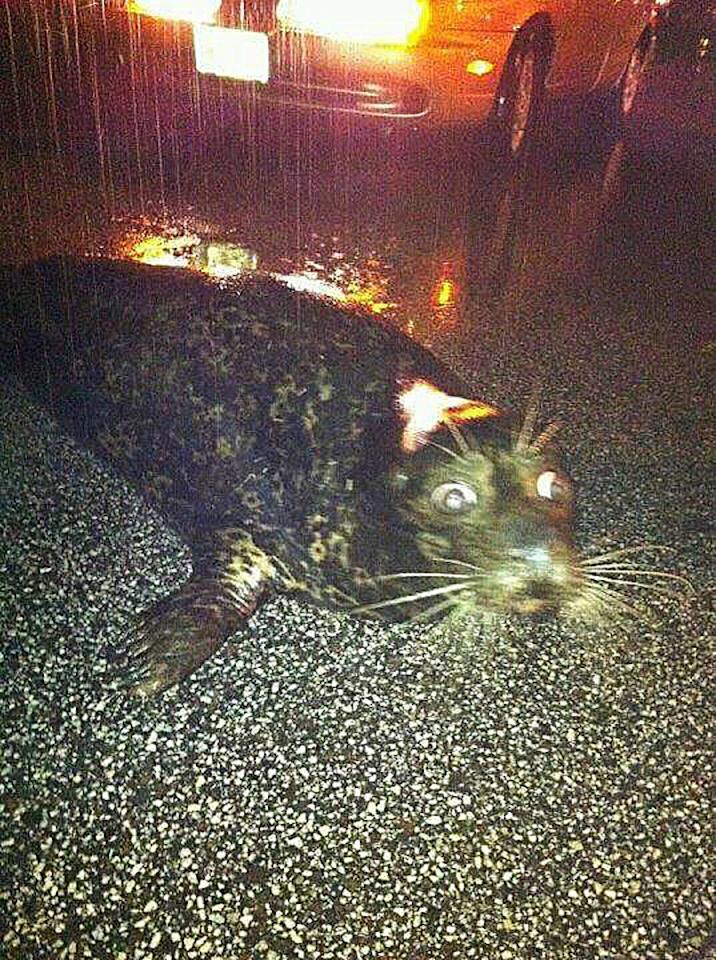 In this photo provided by Ellie Burcar, a seal that escaped from the Lake Superior Zoo lies on Grand Avenue in Duluth, Minn. around 2:30 a.m. on Wednesday, June 20, 2012. Some animals escaped from their pens at the zoo as floods fed by a steady torrential downpour struck northeastern Minnesota, inundating the city of Duluth, officials said Wednesday. (AP Photo/Ellie Burcar)