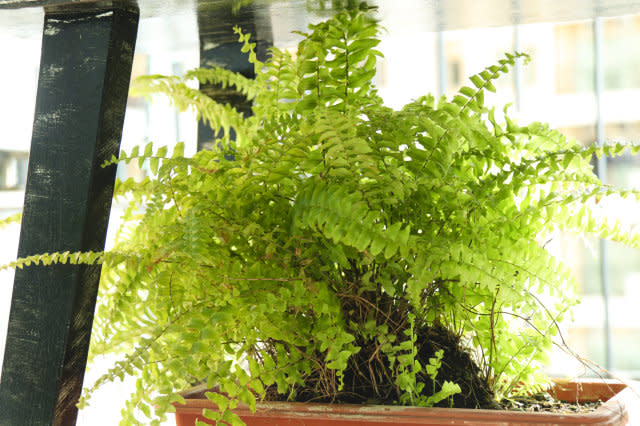 Boston Fern, Natural Air Purifier
