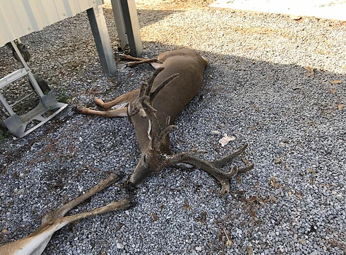 A deer killed by mosquitoes in southwestern Louisiana (AP)