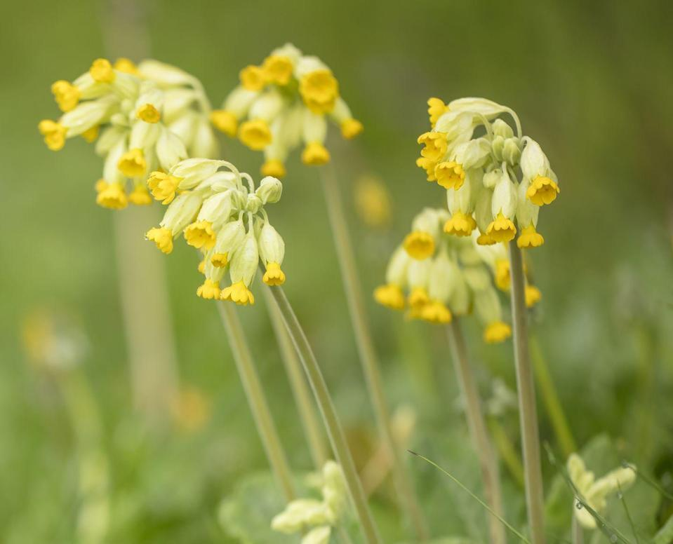 """<p>These gorgeous yellow wildflowers — which are known to inhabitant clifftops, open meadows, sand dunes and fields — hang in delicate clusters. Ideal for attracting <a href=""""https://www.countryliving.com/uk/wildlife/farming/how-to/a276/beekeeping-for-beginners/"""" rel=""""nofollow noopener"""" target=""""_blank"""" data-ylk=""""slk:bees"""" class=""""link rapid-noclick-resp"""">bees</a> and hover-flies, don't forget to plant them this summer. </p><p><a class=""""link rapid-noclick-resp"""" href=""""https://go.redirectingat.com?id=127X1599956&url=https%3A%2F%2Fwww.dobies.co.uk%2Fbedding-plants%2Fall%2Fprimula-veris-plants_mh6534&sref=https%3A%2F%2Fwww.countryliving.com%2Fuk%2Fhomes-interiors%2Fgardens%2Fg35975865%2Fbee-friendly-wildflowers%2F"""" rel=""""nofollow noopener"""" target=""""_blank"""" data-ylk=""""slk:BUY COWSLIP SEEDS"""">BUY COWSLIP SEEDS</a></p>"""