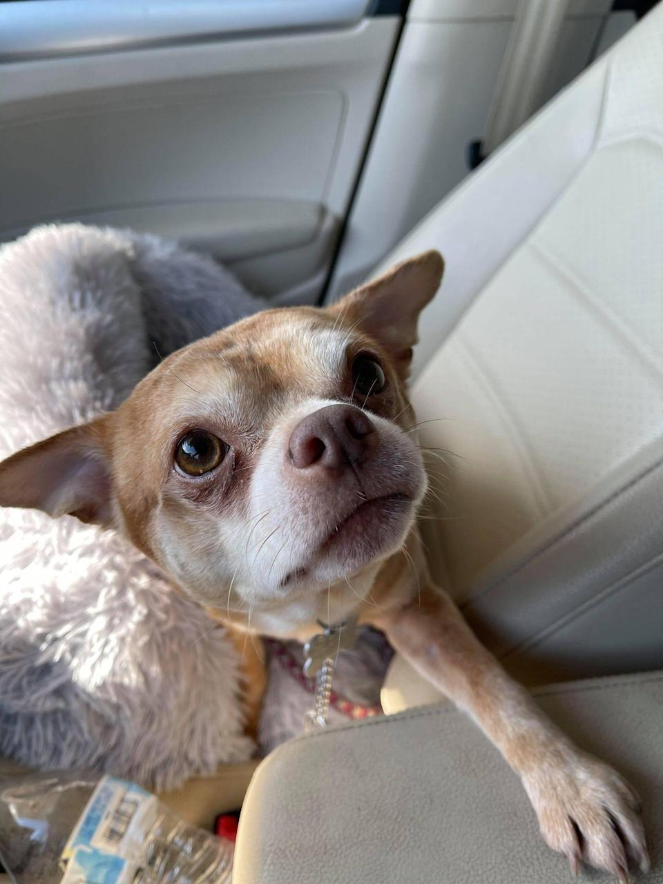 Prancer is a 2-year-old Chihuahua who became famous after his New Jersey foster mom shared his unique quirks on Facebook.