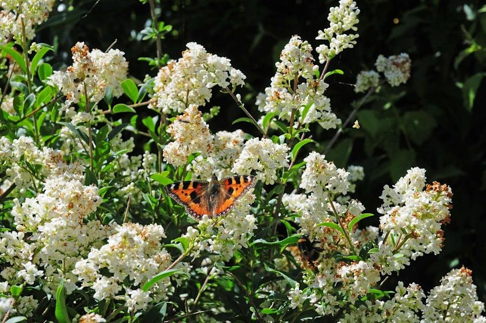 Butterflies are attracted to privet flowers (Alamy/PA)
