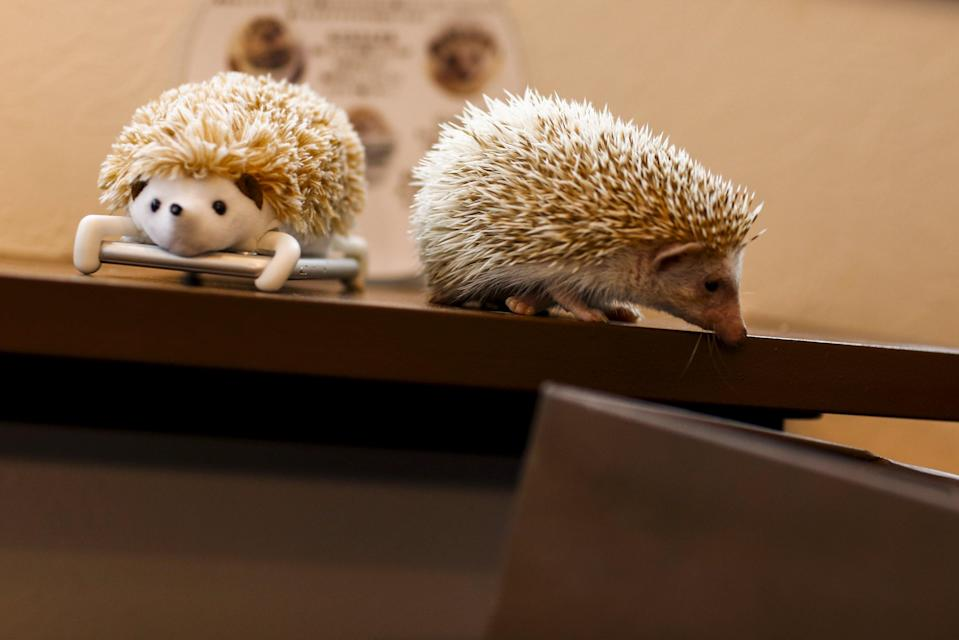 A hedgehog walks next to a mobile phone with a hedgehog cover at the Harry hedgehog cafe in Tokyo, Japan, April 5, 2016. In a new animal-themed cafe, 20 to 30 hedgehogs of different breeds scrabble and snooze in glass tanks in Tokyo's Roppongi entertainment district. Customers have been queuing to play with the prickly mammals, which have long been sold in Japan as pets. The cafe's name Harry alludes to the Japanese word for hedgehog, harinezumi. REUTERS/Thomas Peter
