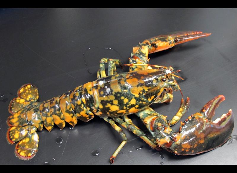 This May 9, 2012 photo provided by the New England Aquarium in Boston shows a rare calico lobster that could be a 1-in-30 million, according to experts. The lobster, discovered by Jasper White's Summer Shack and caught off Winter Harbor, Maine, is being held at the New England Aquarium for the Biomes Marine Biology Center in Rhode Island. The lobster is dark with bright orange and yellow spots. (AP Photo/New England Aquarium, Tony LaCasse)