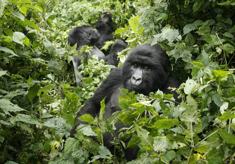 "FILE- In this file photo taken Tuesday Nov. 25, 2008, two mountain gorillas are seen in the Virunga National Park, near the Uganda border in eastern Congo. Virunga now has about a quarter of the world's remaining 790 mountain gorillas, with the others concentrated in parks in neighboring Rwanda and Uganda. The park was named a U.N. World Heritage site in 1979 for its unique diversity and the opulence of its animal and bird species. Despite all the conflict _ back-to-back civil wars that drew in the armies of half a dozen African nations between 1996 and 2002, and then rebellions in 2004, 2008 and a new one that erupted in April _ the numbers of mountain gorillas have actually grown. ""The population has nearly doubled in recent years _ an enormously successful exercise but at a high price,"" said Emmanuel de Merode, the park's director and chief warden. (AP Photo/Jerome Delay)"