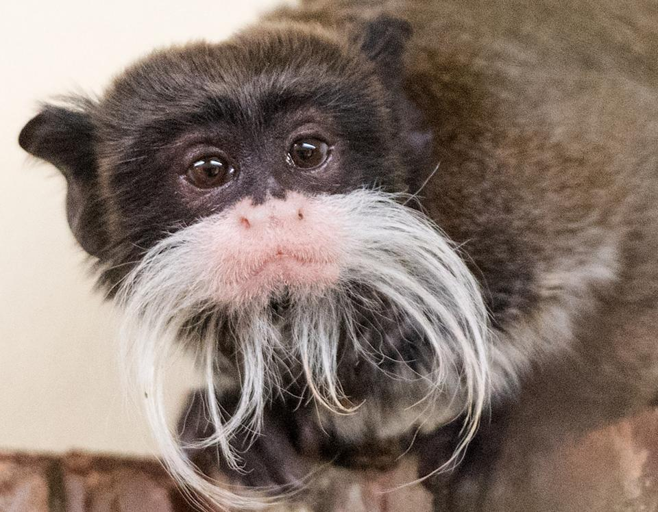 Tim the emperor tamarin sits in his enclosure at the zoo in Neumuenster, Germany, 04 March 2016. Photo:Daniel Bockwoldt/dpa | usage worldwide   (Photo by Daniel Bockwoldt/picture alliance via Getty Images)