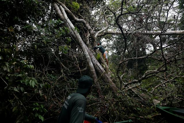 <p>Research assistants from the Mamiraua Institute check a tree where they spotted a jaguar at the Mamiraua Sustainable Development Reserve in Uarini, Amazonas state, Brazil, June 1, 2017. (Photo: Bruno Kelly/Reuters) </p>