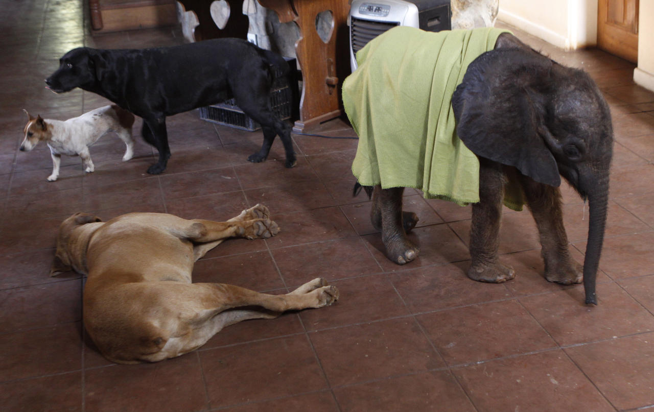 In this photo taken Tuesday Oct. 9, 2012 seven-and-a-half month old elephant calf named Moses walks through the home past pet dogs in Lilongwe, Malawi. Moses was found alone and close to death in the Vwaza Wildlife Reserve. He has been adopted by the Jumbo Foundation where he is cared for and is being raised by humans. (AP Photo/Denis Farrell)
