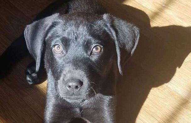 PHOTO: Emerson, a black lab mix, was rescued out of a shelter in Florida and brought to the foster-based rescue, NFR Maine where he was eventually adopted. (Courtesy Richelle and Nick Abbott )