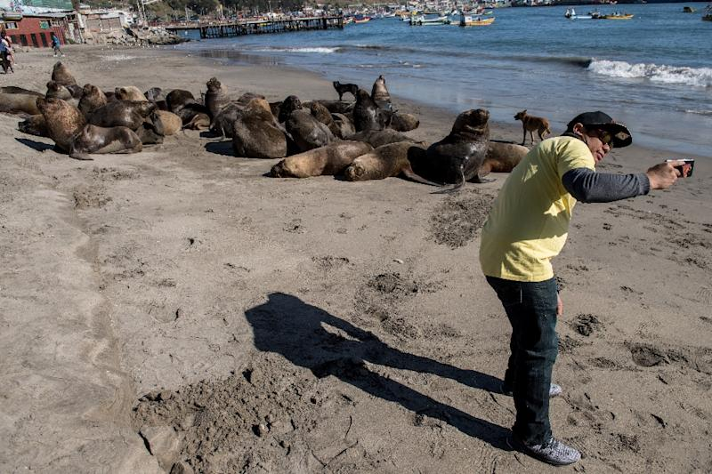 Not everyone is as angered by sea lions as Chile's fishermen, and the country's fisheries under-secretary Eduardo Riquelme says humans must learn to live with the eared seals (AFP Photo/MARTIN BERNETTI)