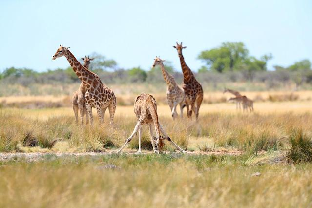 Giraffes gather at the Batia watering hole for a midday drink in Etosha National Park. (Photo: Gordon Donovan/Yahoo News)
