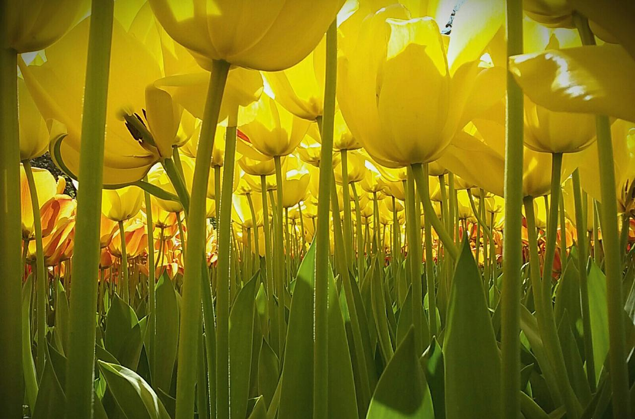 <p>Dewi Baggerman, 11, from the Netherlands, won the international grand prize for her picture of tulips from the ground up. (Picture: Dewi Baggerman/National Geographic) </p>