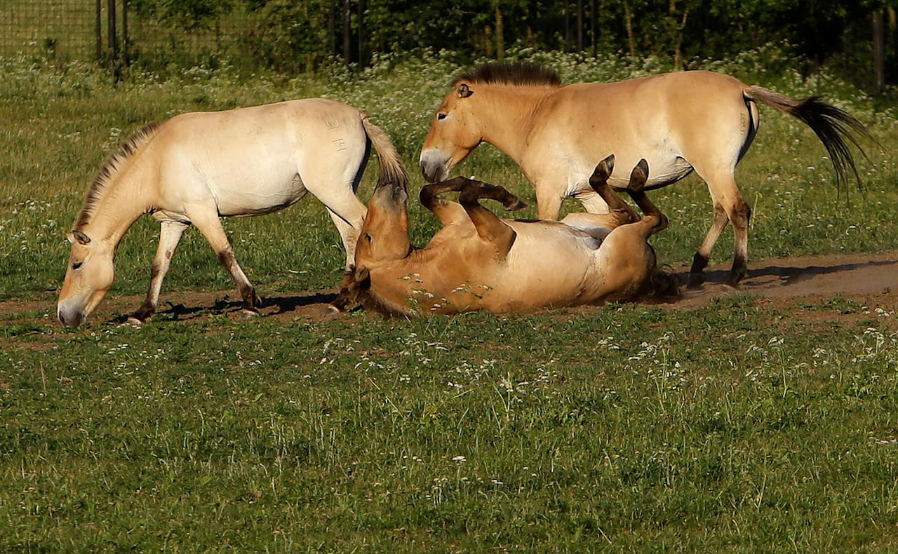 <p>Przewalski's horses graze on a meadow at the acclimatization enclosure in the village of Dolni Dobrejov near the city of Tabor, Czech Republic, June 18, 2017. (Photo: David W. Cerny/Reuters) </p>
