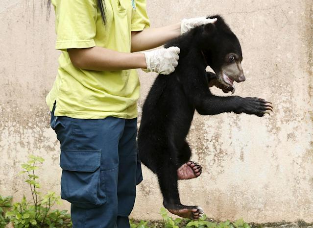 <p>A wildlife department official holds a Malayan sun bear for the media at its head office in Kuala Lumpur, March 24, 2015. It was among other animals estimated to be worth $20,000, including juvenile eagles and a slow loris, seized by the wildlife department during an operation against illegal wildlife traders earlier this month. The illegal wildlife trade is estimated to be $8 billion a year worldwide, according to TRAFFIC, a wildlife trade monitoring network. (Photo: Olivia Harris/Reuters) </p>