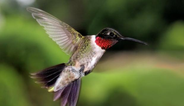 A new study finds that birders heard and saw many more birds than usual in urban areas of Canada and the U.S. during the pandemic lockdowns in the spring of 2020. Ruby-throated hummingbird sightings increased greatly near airports. (Ramona Edwards/Shutterstock - image credit)