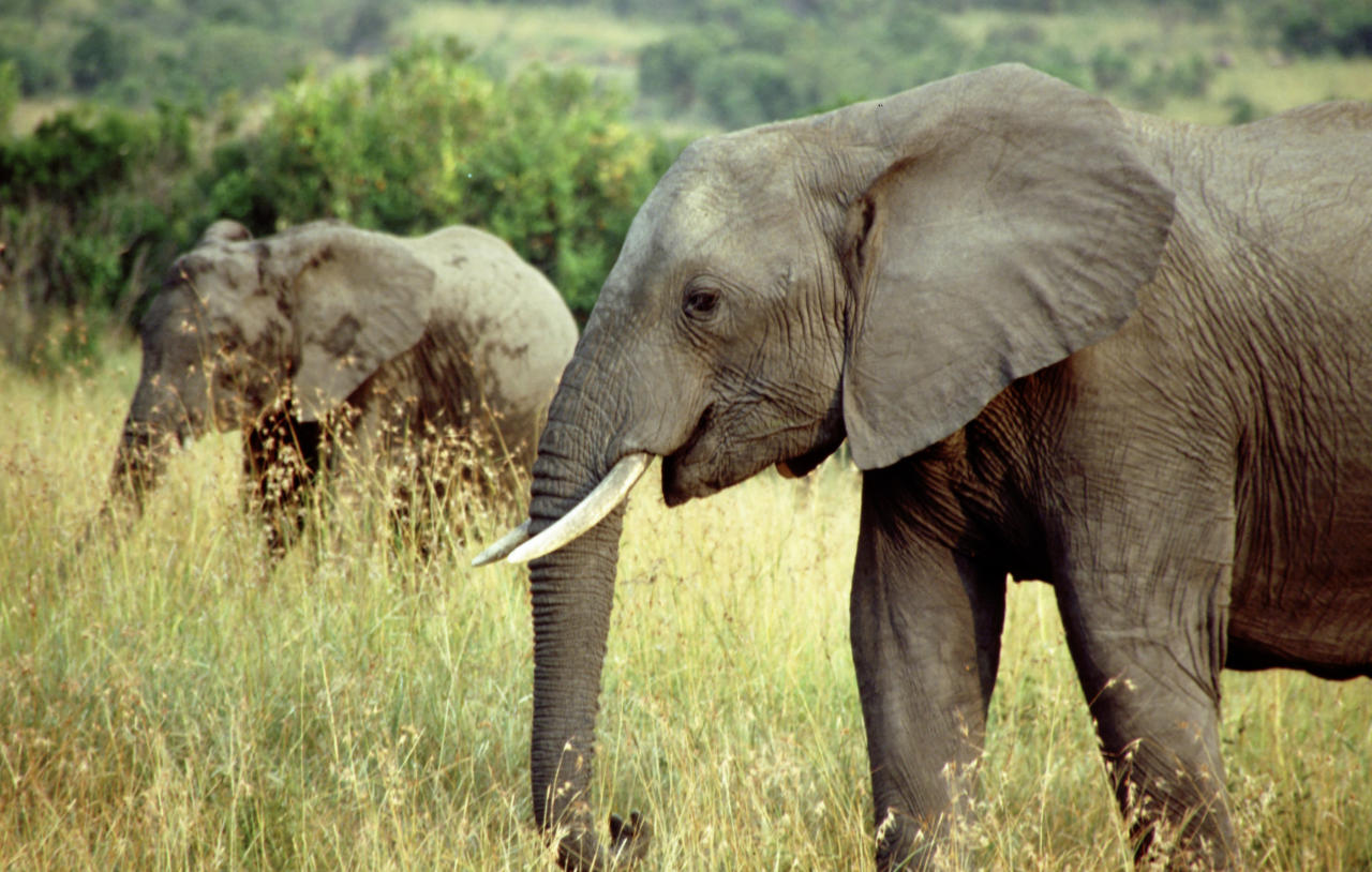 <p>African elephant populations in Tanzania have declined by 60% between 2009 and 2014, mostly due to poaching for their ivory. </p>