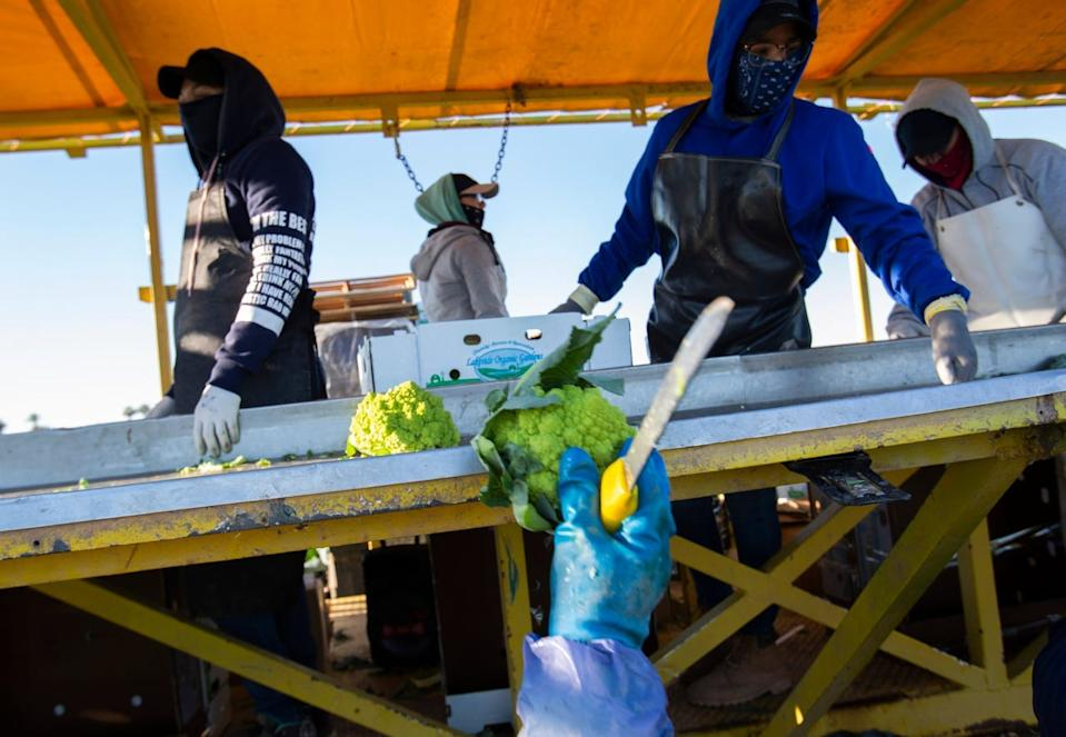 Farmers harvest romanesco cauliflower in Imperial Valley during the COVID-19 pandemic in March. Many farmworkers were infected in Imperial Valley.