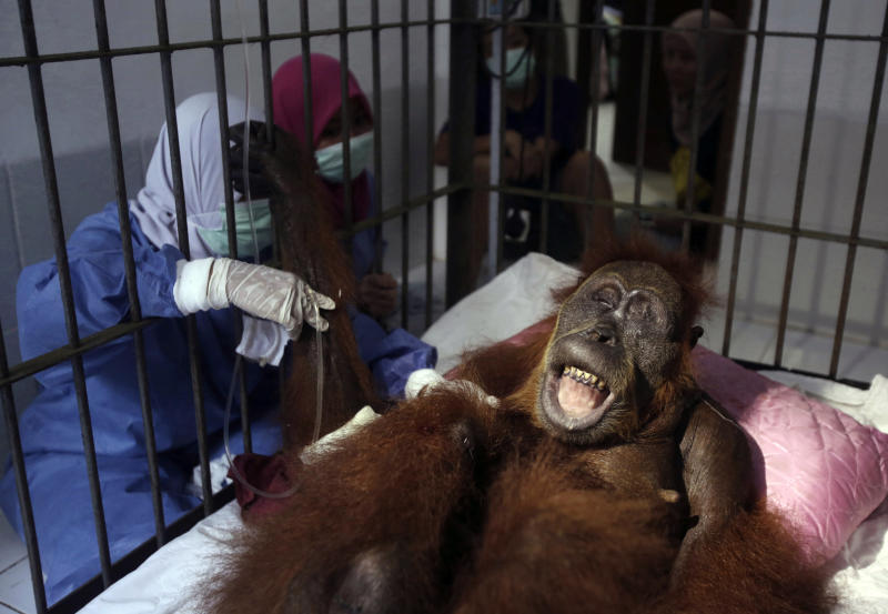 CAPTION CORRECTS TYPE OF SURGERY - In this photo taken on Sunday, March 17, 2019, veterinarians and volunteers of Sumatra Orangutan Conservation Programme (SOCP) tend to a female orangutan they named 'Hope' after conducting a surgery for infections in some parts of the body and to fix broken bones, at SOCP facility in Sibolangit, North Sumatra, Indonesia. A veterinarian says the endangered orangutan that had a young baby has gone blind after being shot at least 74 times, including six in the eyes, with air gun. The baby orangutan died from malnutrition last Friday as rescuers rushed the two to the facility. (AP Photo/Binsar Bakkara)