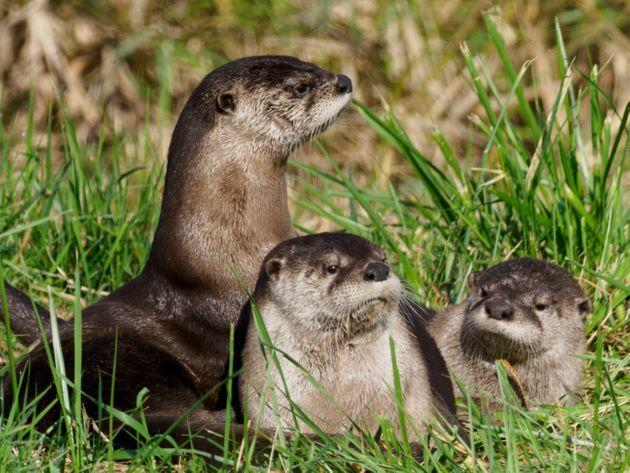 River otters. (Photo: GarysFRP via Getty Images)