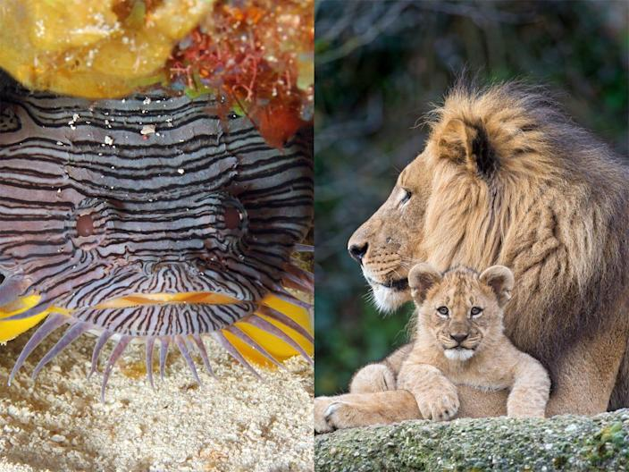 The Splendid Toadfish and African Lion are just two of the many animal species that became endangered in the last 10 years.